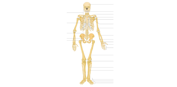 GCSE: Trivia Quiz On Human Skeletal System!