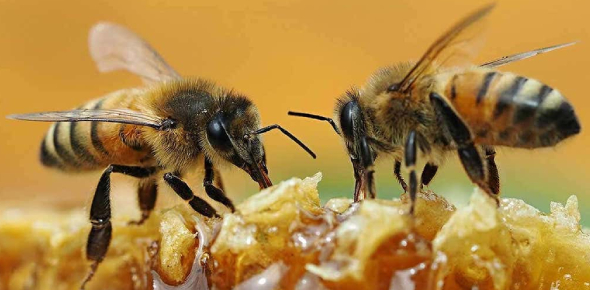 Unknown Facts About Honey Bees You Didn