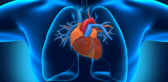 Quiz: Do You Know About The Anatomy Of The Human Heart?
