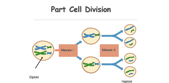 Cell Parts And Division Quiz! Trivia