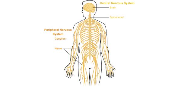 Nervous System Quiz Multiple Choice Questions