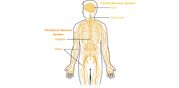 Quiz: The Nervous System Exam! Trivia