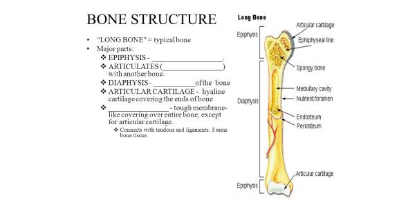 Trivia Quiz On Functions Of Bones!