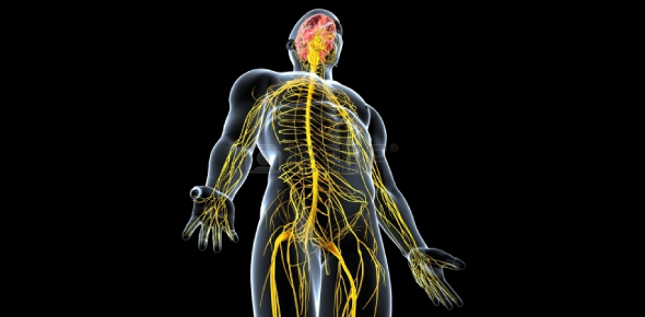 Questions On The Nervous System: Quiz!