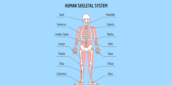 Do You Have Knowledge About Skeletal System? Quiz