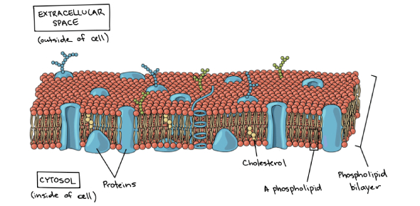 Biology Chapter 5 Membrane Structures