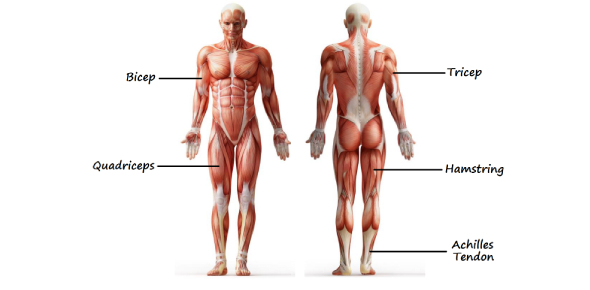 Trivia On Musculoskeletal System: Quiz!