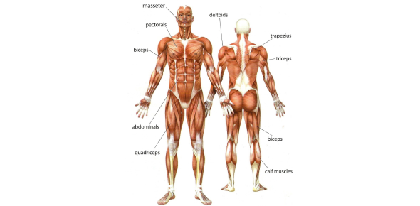 Muscular System AP Biology Post Quiz
