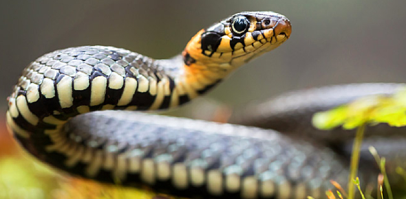 Amazing Snake Facts Quiz: Trivia!