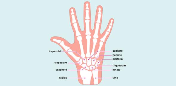 Quiz 4- Wrist And Hand