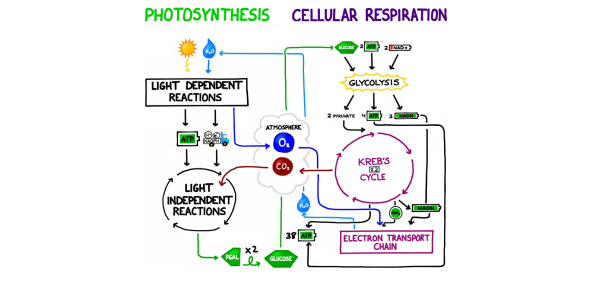 Photsynthesis And Cellular Respiration : Occurs in all living organisms.