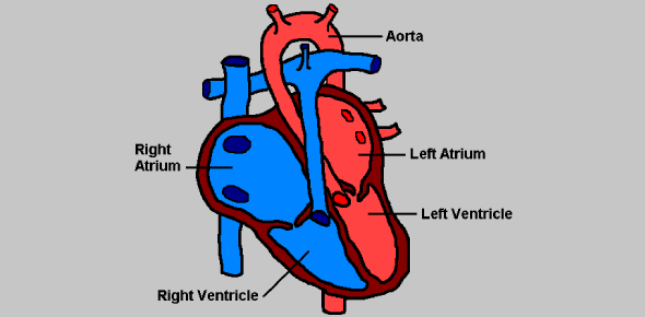 Circulatory System Basic Exam: Quiz!