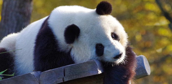 Incredible Trivia Facts About Giant Pandas! Quiz