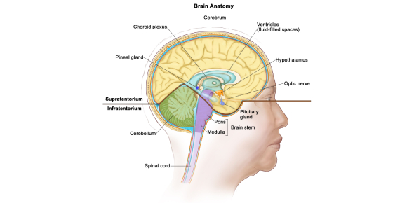 The Brain And Nervous System Test! Trivia Quiz