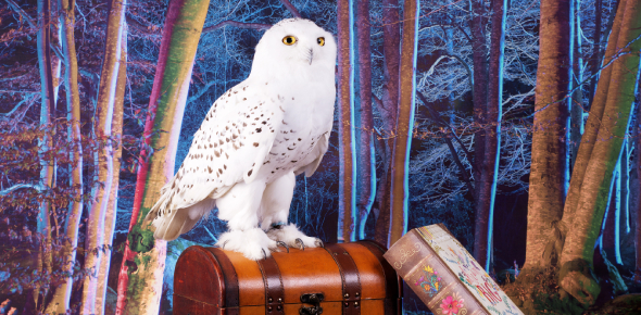 Do You Know About Harry Potter Hedwig Owls Quiz