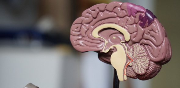 Quiz: The Brain And Nervous System! Trivia