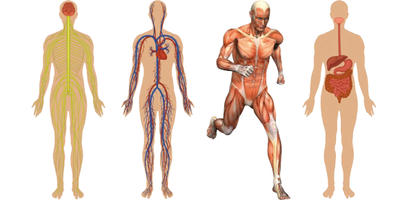 Anatomy And Physiology Level II (Mix Questions From Mock Papers)