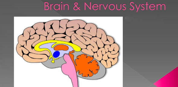 The Brain And Nervous System Quiz! Trivia