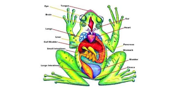 The Frog Anatomy Quiz! Trivia