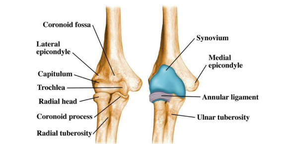 The Elbow Joint: Functions And Location! Quiz