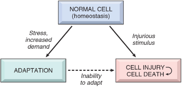 Cell Injury, Death, And Adaptation