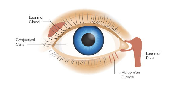 Quiz: Label The Parts Of The Eye