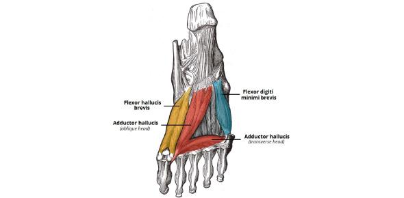Foot Muscles Anatomy: Trivia Quiz!