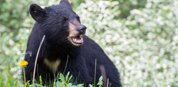 How Well You Know Florida Black Bear? Trivia Quiz