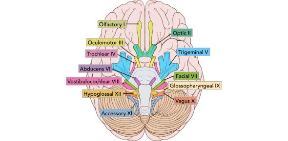 Cranial Nerve Quiz