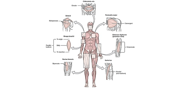 Origin, Insertion, And Action Of Muscles Quiz