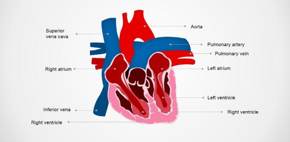 Identify Various Parts Of A Human Heart: Trivia Quiz