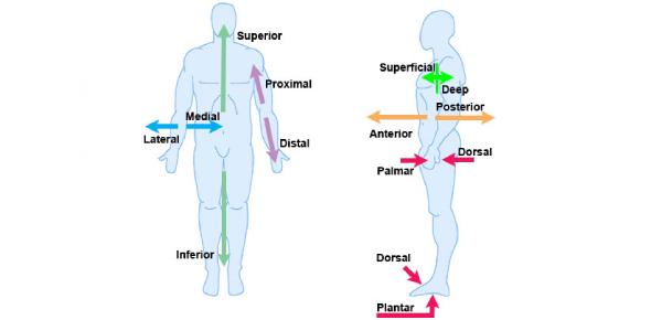 Anatomical Terminology Test! Trivia Quiz