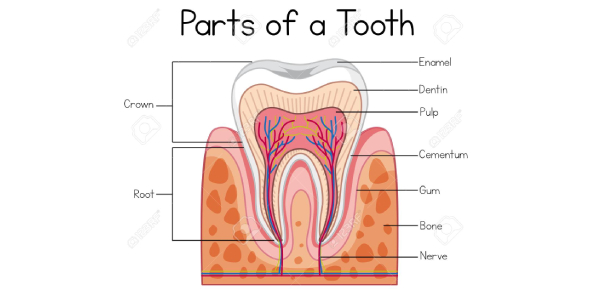 Label The Parts Of The Tooth