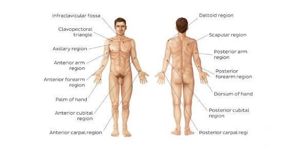 Body Regions: Anatomy Quiz!
