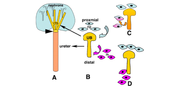 A Quiz To Test Your Urinary System Knowledge! Trivia