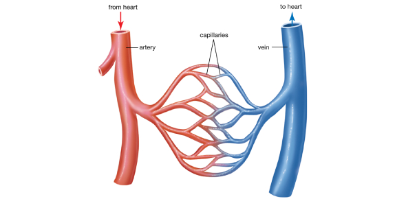 Chapter 19 Lab Quiz On Blood Vessels