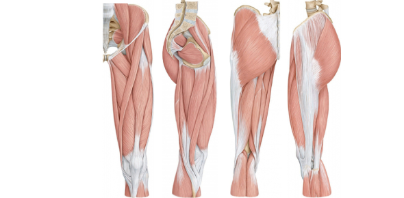 Muscles Of The Lower Limb Quiz! Trivia