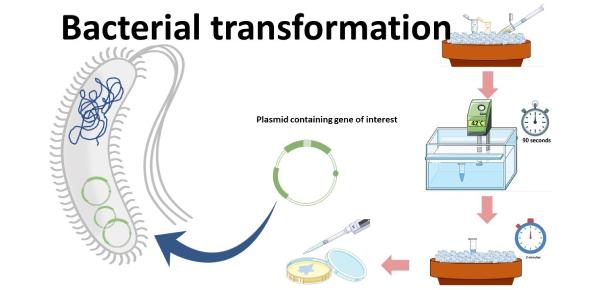 Bacterial Transformation Quiz! Trivia Questions