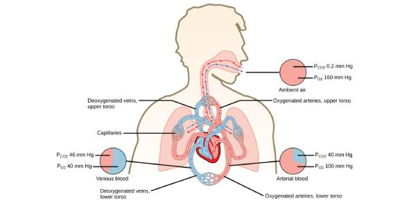 Respiratory For Final Pediatric Quiz