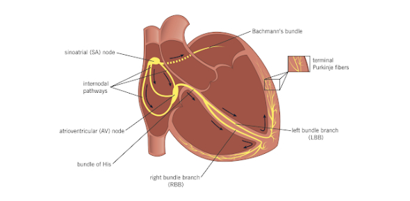 Anatomy Quiz - Cardiac Conduction