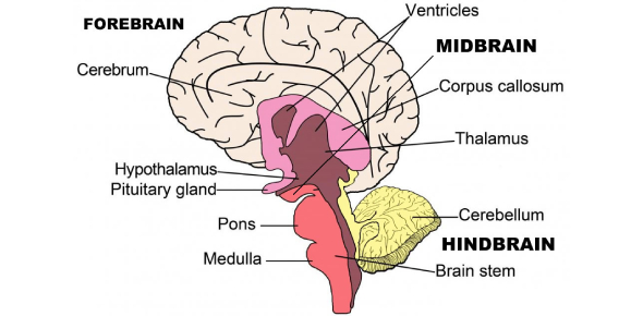 A Brain Parts And Functions Quiz!