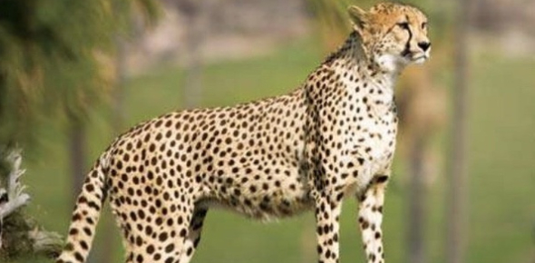How Well Do You Know Your Big Cats?