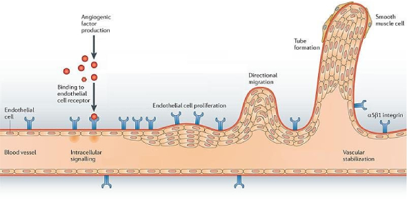 Molecular And Cellular Biology Of Angiogenesis Assessment