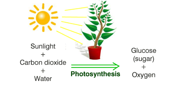 Photosynthesis Trivia: MCQ Quiz!