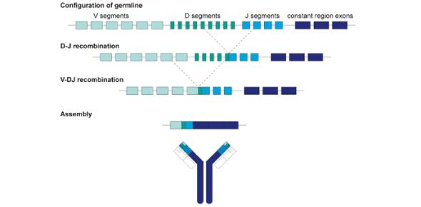 Immunology Quiz- Antibody Diversity