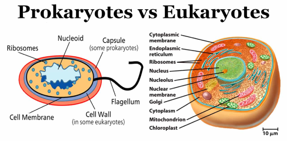 Trivia Quiz: What Do You Know About Prokaryotic And Eukaryotic Cells?