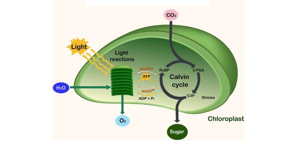Basic Quiz On Photosynthesis!