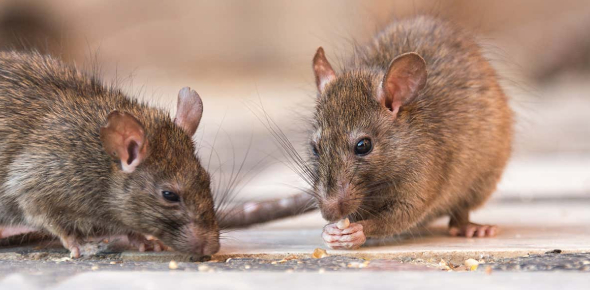 How Much Do You Know About Rats?