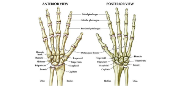 Human Wrist Anatomy Test: Trivia Quiz