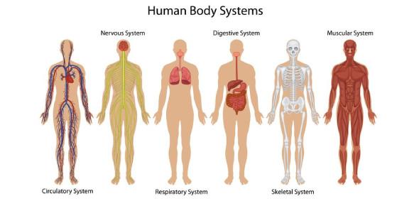 Human Body System Exam: Quiz!